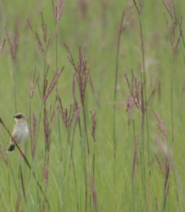 Pale-crowned Cisticola in its moist grassland habitat at Seekoeivlei Nature Reserve, Free State, 8 July 2015 (Photograph by Lia Steen)