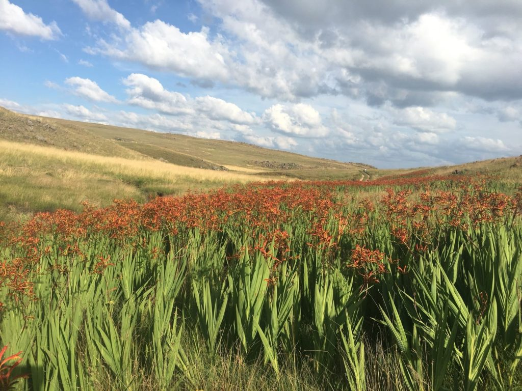 Zigzag Crocosmia along the banks of the Lunsklip (Photo by Vanessa Yelseth)