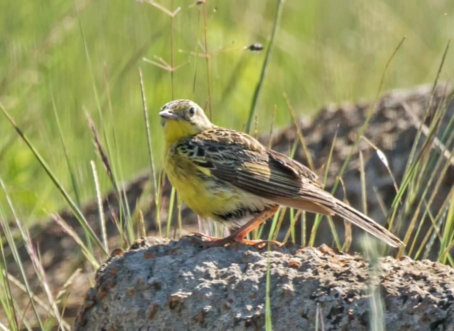 Text Box:  Yellow-breasted Pipit                                                            © G. Lockwood