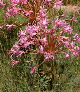Brunsvigia radulosa (Photograph by Gerrit van Ede)