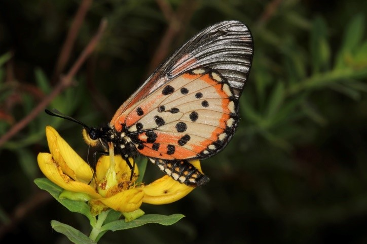 Garden Acraea feeding on flowers (Photograph by Justin Bode)